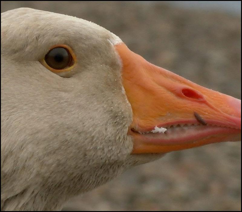 Duck-100